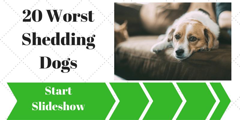Worst Shedding Dogs