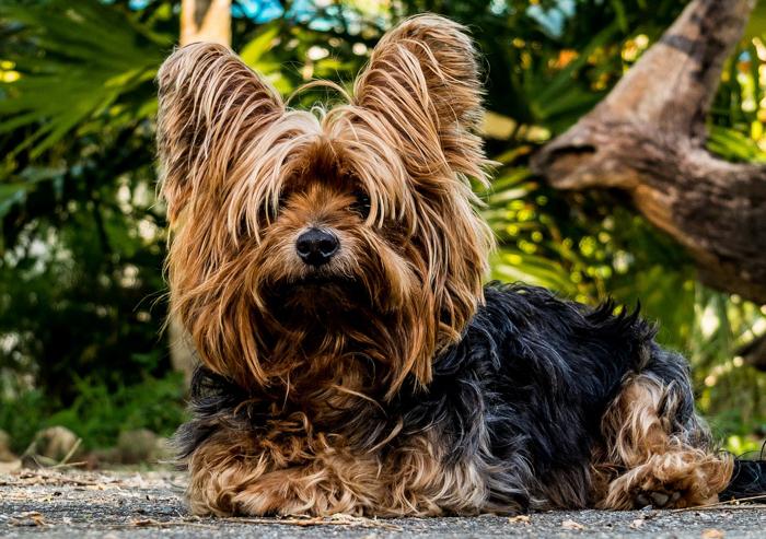 Yorkshire Terrier, yorkie